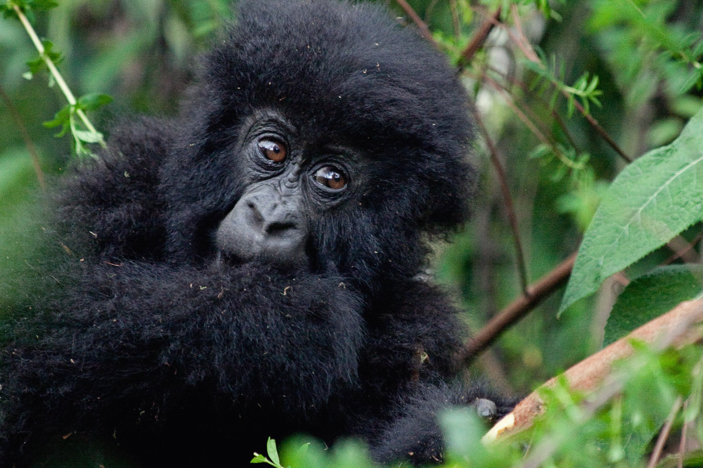1 Day Rwanda Express Gorilla Trek