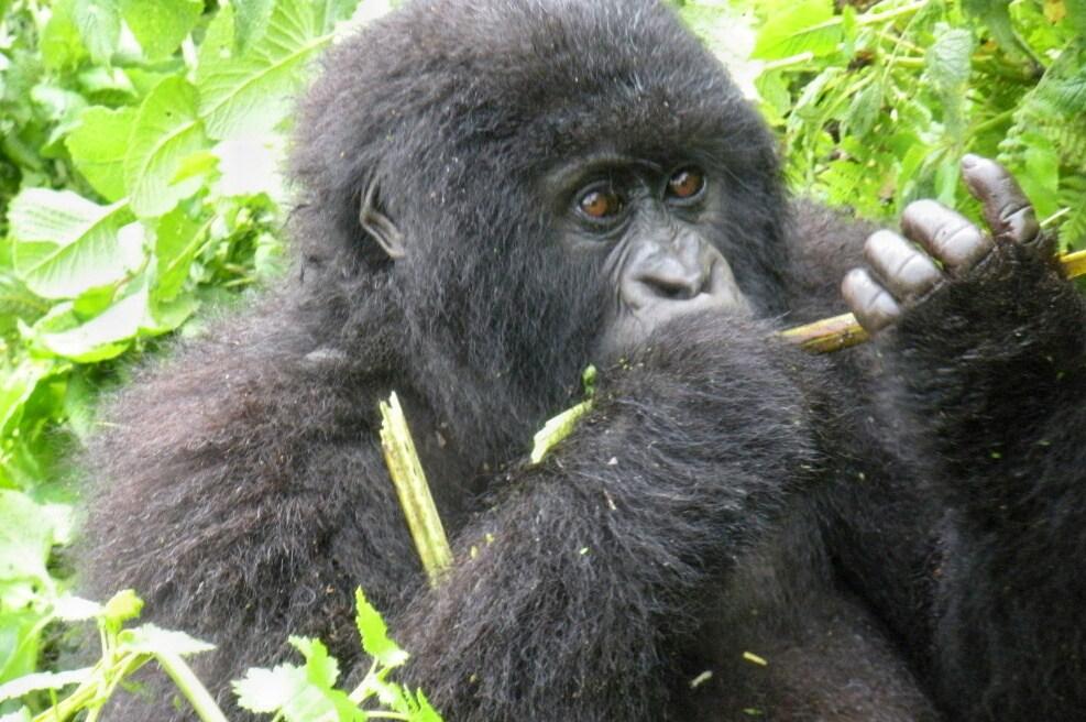 5 Days PNV Gorillas & Nyiragongo Hike